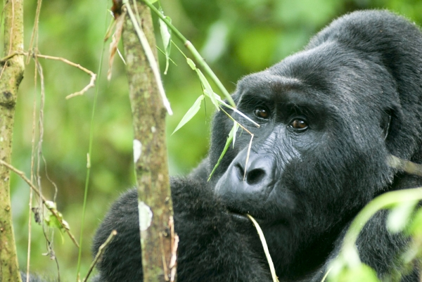 WWF mourns death popular Gorilla Rafiki, says errant poachers should face the law