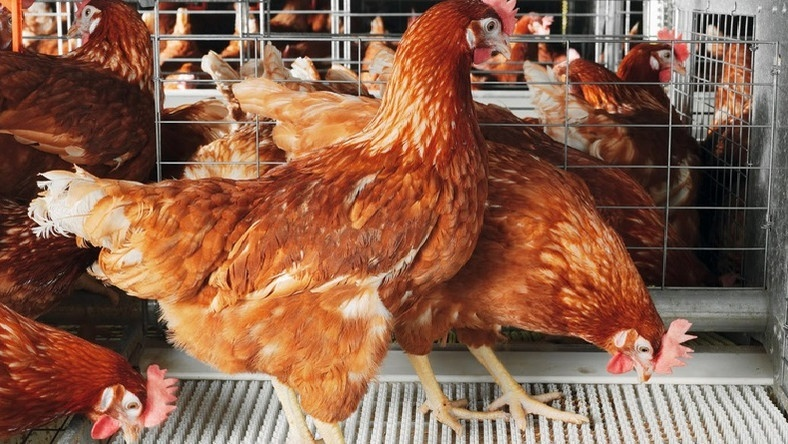 Uganda poultry imports likely to receive another ban from Kenya
